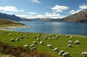 New_Zealand_Landscape_Sheep.jpg